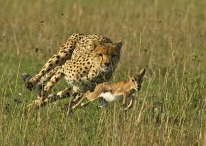 Cheetah and gazelle